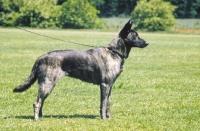 Picture of Nederlandse Herder - dutch sheepdog - smooth