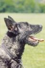 Picture of Nederlandse Herder - dutch sheepdog wirehaired, profile