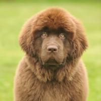 Picture of Newfoundland puppy portrait
