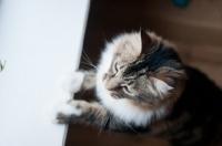 Picture of non pedigree cat