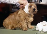 Picture of norfolk terrier having head bandaged