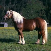 Picture of noric stallion in austria