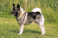 Picture of Norwegian Elkhound posed
