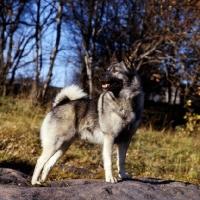 Picture of norwegian elkhound, skogsmarkens skott