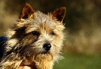 Picture of norwich terrier head portrait