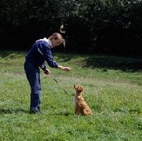 Picture of nova scotia duck tolling retriever puppy training command 'sit'