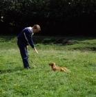 Picture of nova scotia duck tolling retriever puppy, training command 'down'