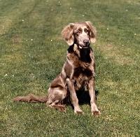 Picture of obedient looking weimaraner