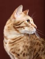Picture of Ocicat looking away
