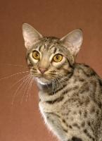 Picture of Ocicat portrait