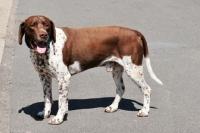 Picture of old danish pointing dog (aka Gammel Dansk Honsehond)