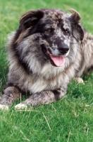 Picture of Old German Sheepdog lying down (aka Altdeutsche Hutehund)