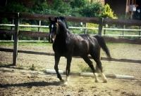 Picture of oldenburg stallion