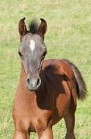Picture of one arabian foal in green field