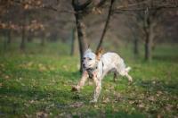Picture of orange belton setter running in a park