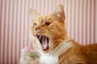 Picture of orange cat yawning
