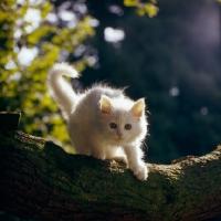 Picture of orange eyed white long hair kitten in tree