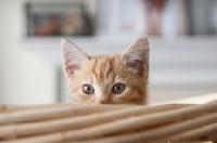 Picture of orange tabby kitten peeking over edge of basket