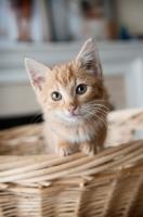 Picture of orange tabby kitten perching on edge of basket