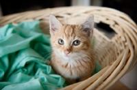 Picture of orange tabby kitten sitting in basket