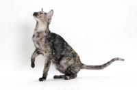 Picture of Oriental Shorthair one leg up, black smoke tortie, looking up