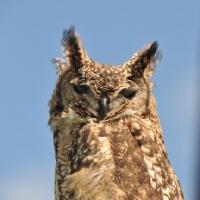 Picture of Owl portrait