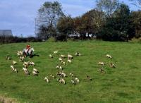 Picture of pack of exmoor foxhounds on exmooor