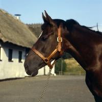 Picture of Palalganda, head shot of Danish Warmblood,Sporthorse