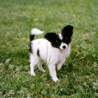 Picture of papillon puppy, donwen's deja vu