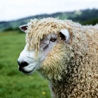 Picture of parker, cotswold ram, portrait