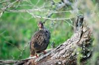 Picture of partridge in kenya