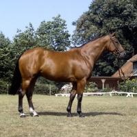 Picture of pascha, oldenburg stallion