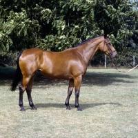 Picture of patent, oldenburg mare