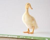 Picture of Pekin Duckling