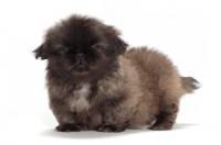 Picture of Pekingese puppy in studio