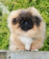 Picture of Pekingese puppy