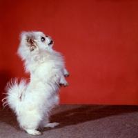 Picture of pekingese standing on hind legs