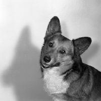Picture of pembroke corgi portrait