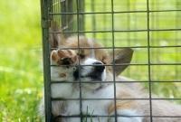 Picture of pembroke corgi puppy asleep in a  pen