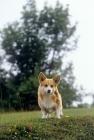 Picture of pembroke corgi puppy looking down