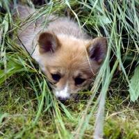 Picture of pembroke corgi puppy lying in long grass