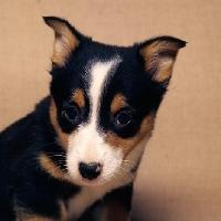 Picture of pembroke corgi puppy portrait