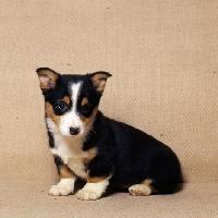 Picture of pembroke corgi puppy sitting
