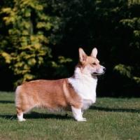 Picture of pembroke corgi standing on grass