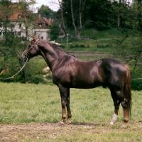 Picture of perfekt, liver chestnut stallion, trakehner x TB, at marbach