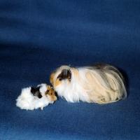 Peruvian guinea pig baby - photo#26