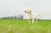Picture of Pet Labrador standing in crop field