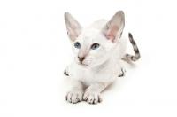 Picture of Peterbald kitten 10 weeks old