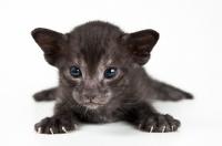 Picture of Peterbald kitten 3 weeks old
