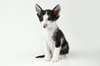 Picture of Peterbald kitten 5 weeks old, looking alert